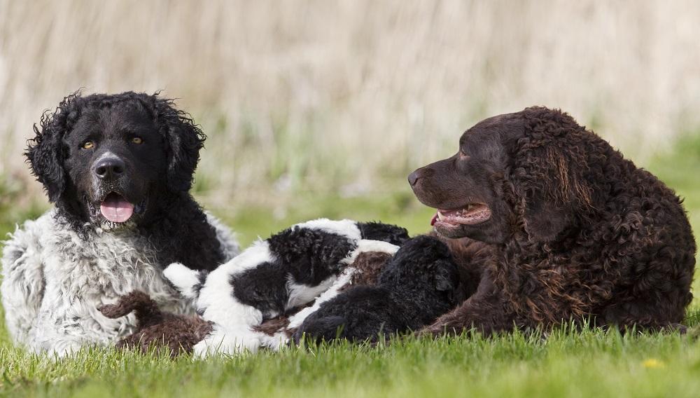 wetterhoun-frisian-water-dog-friesischer