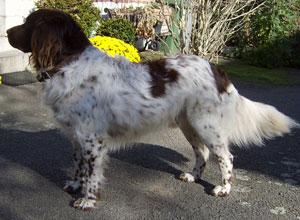 Bruinbonte Stabijhoun met typische, bossige staart, in rust laag gedragen