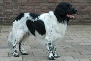 Een eenvoudige, krachtig gebouwde, langharige staande hond